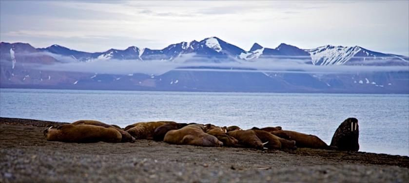 A Nordaustlandet walrus